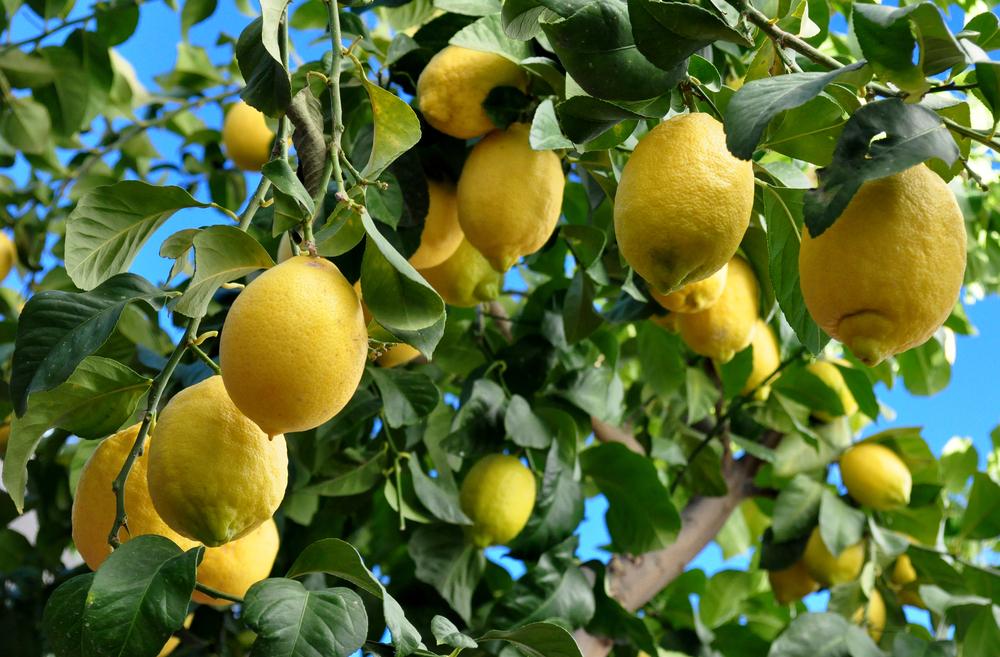 Zitrus-Öle, Mit dem Lächeln der Sonne geküsst