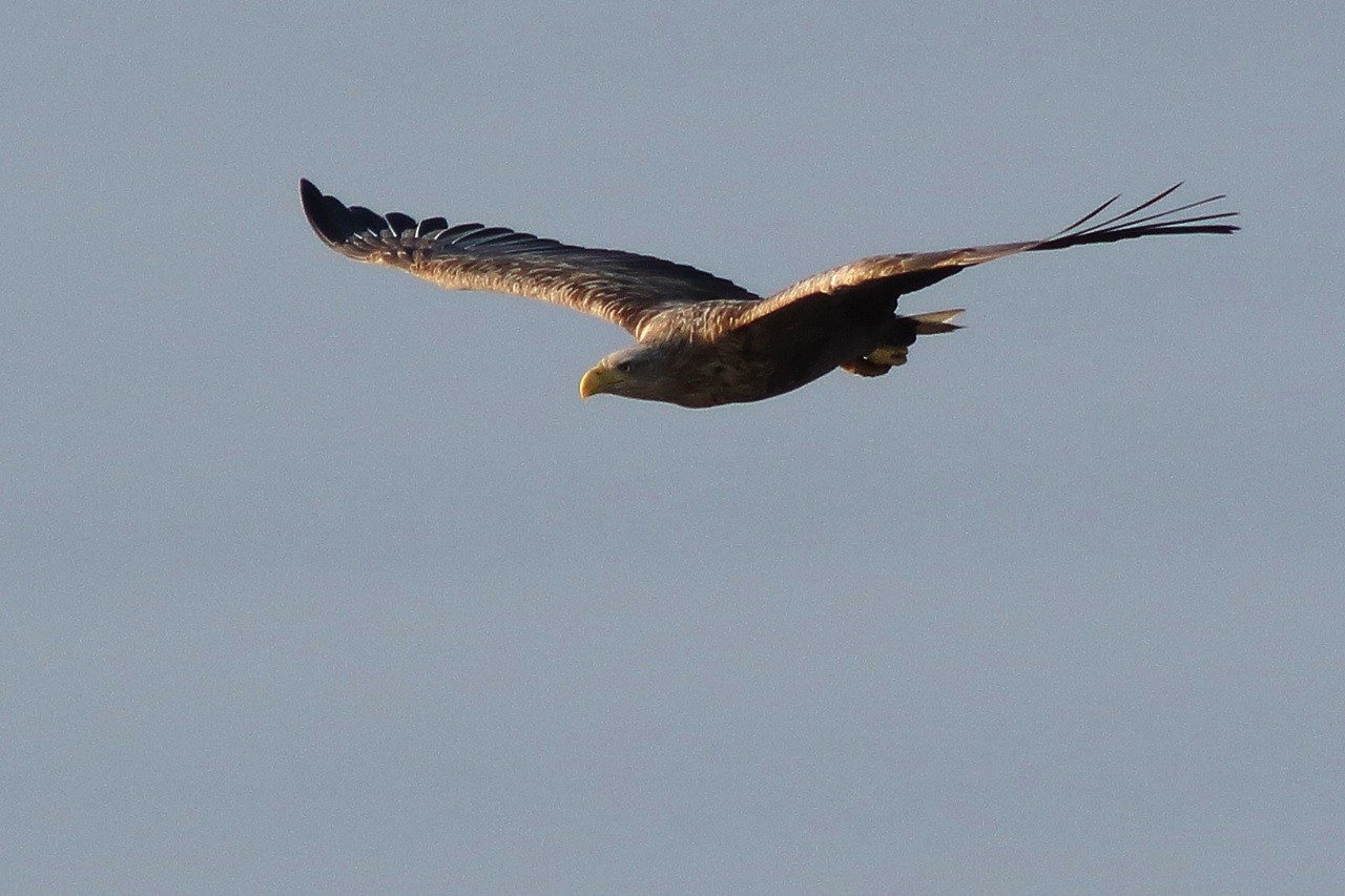 Seeadler an der Elbe