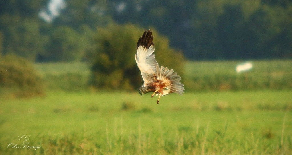 Rohrweihe bei der Jagd
