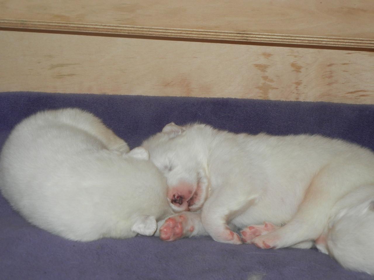links Hündin blau und rechts Rüde weiß