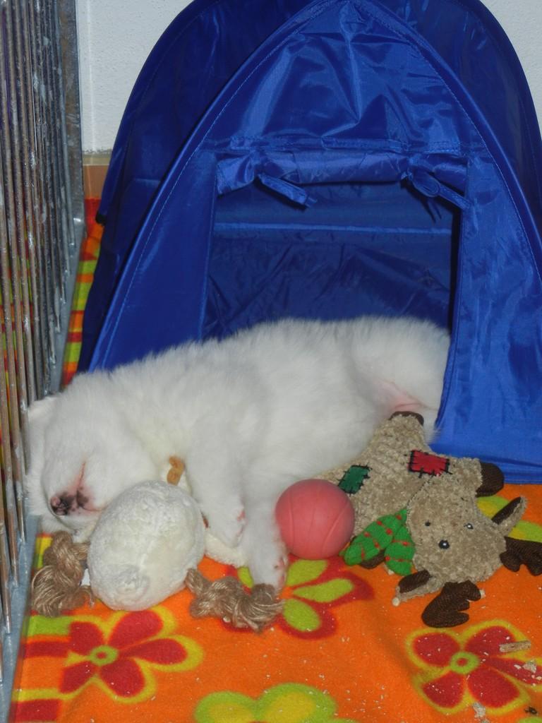 Hündin weiß schläft vor dem Zelt