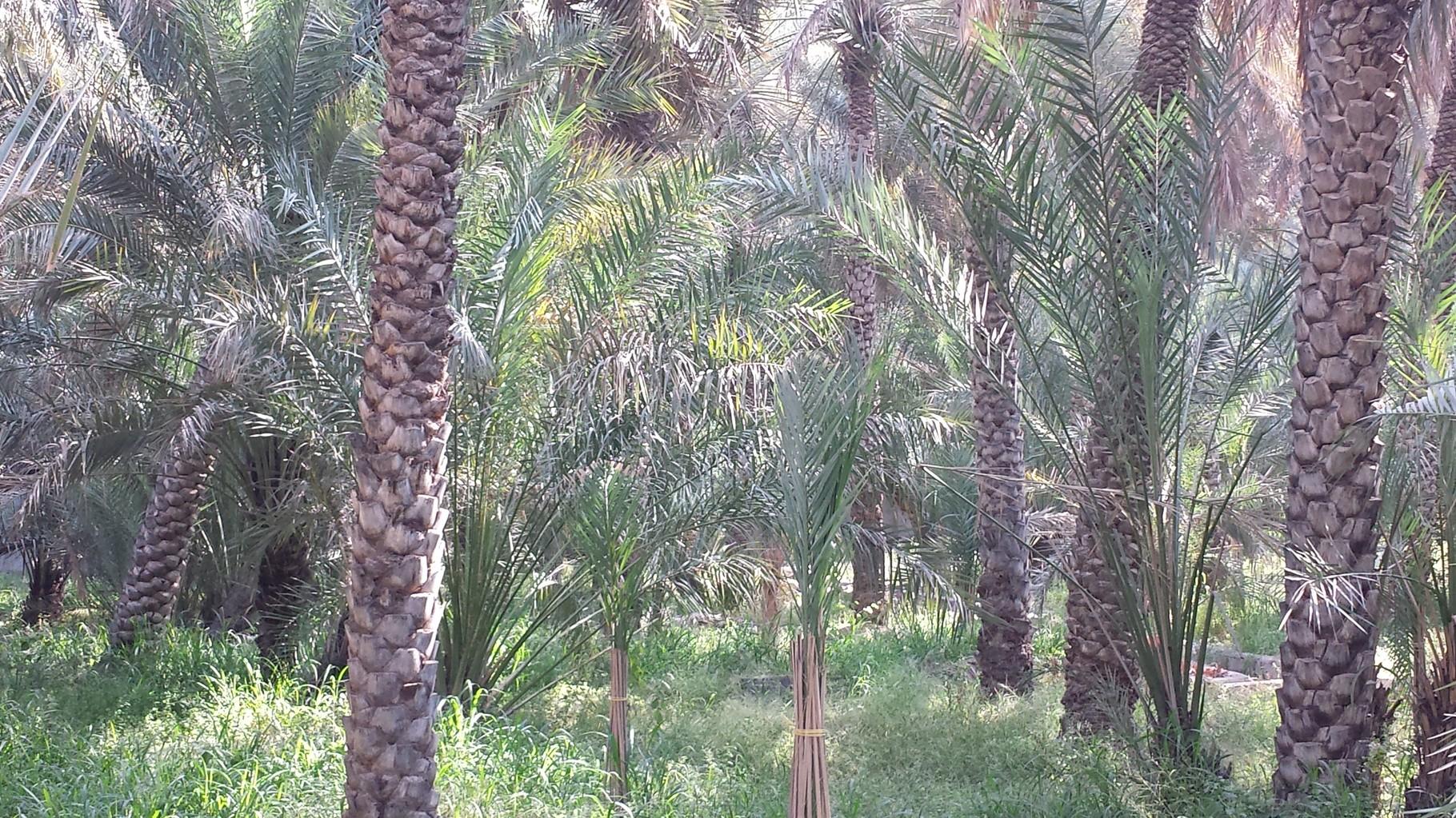 Oase Al-Ain