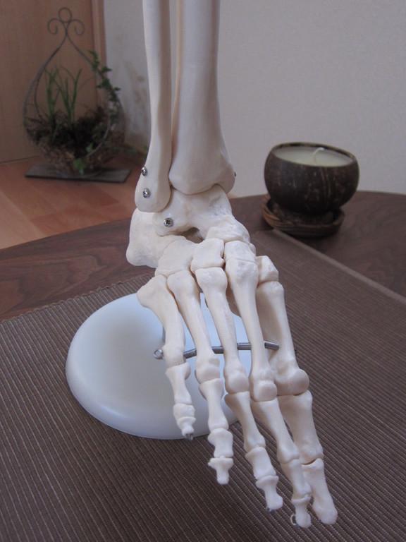 練習用の足骨格模型