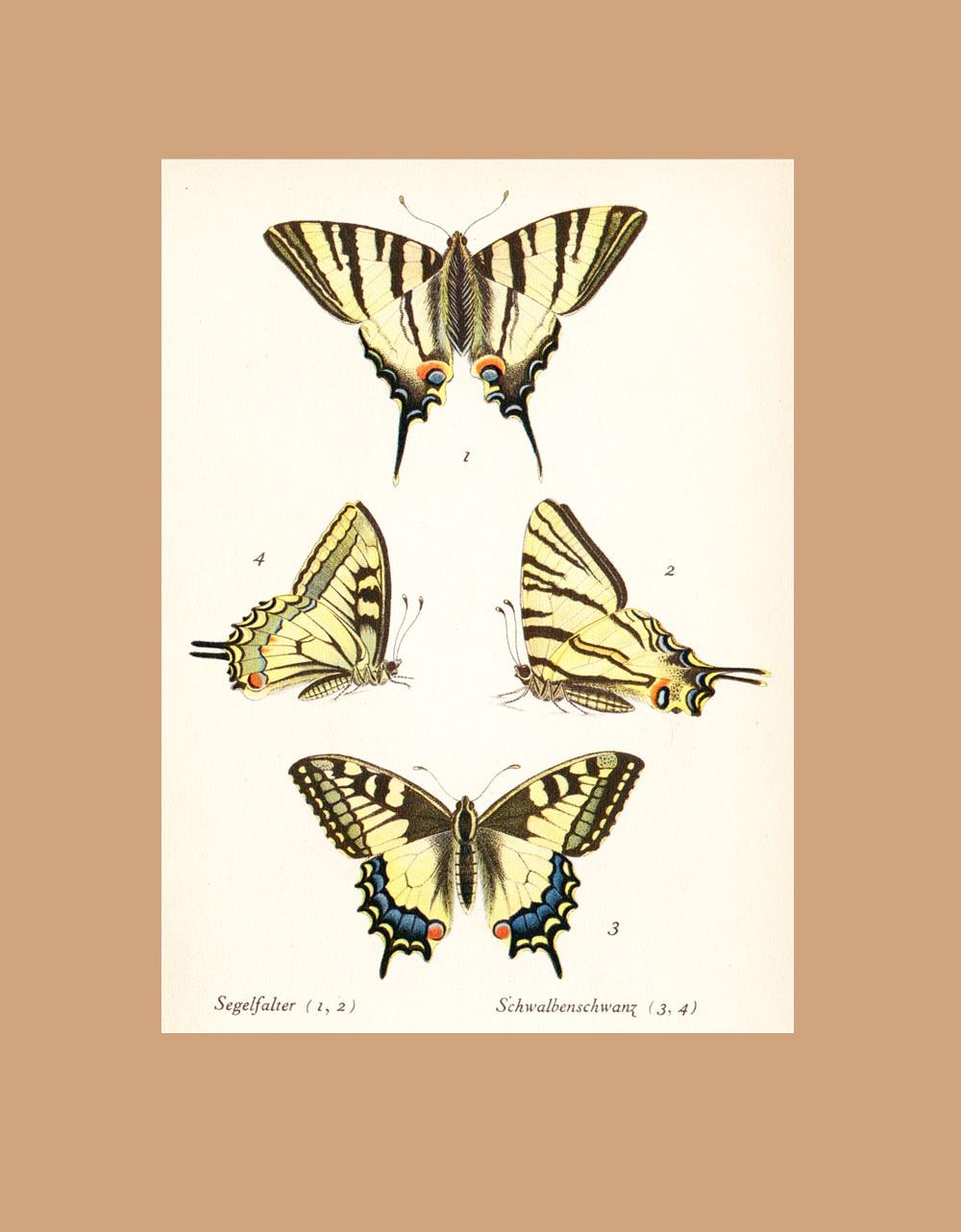 Papilio podalirius
