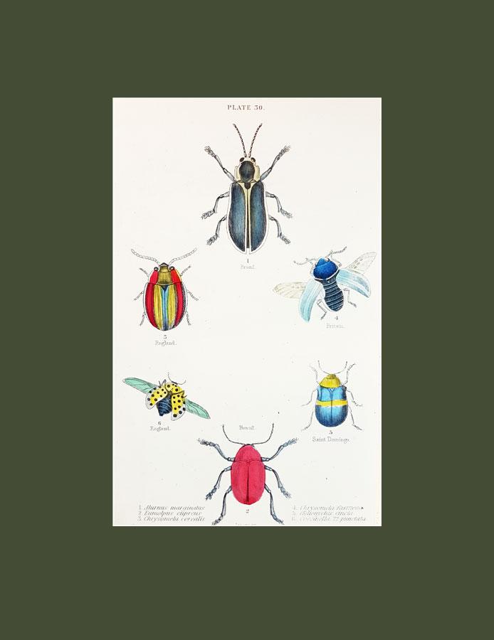Alurnus marginatus