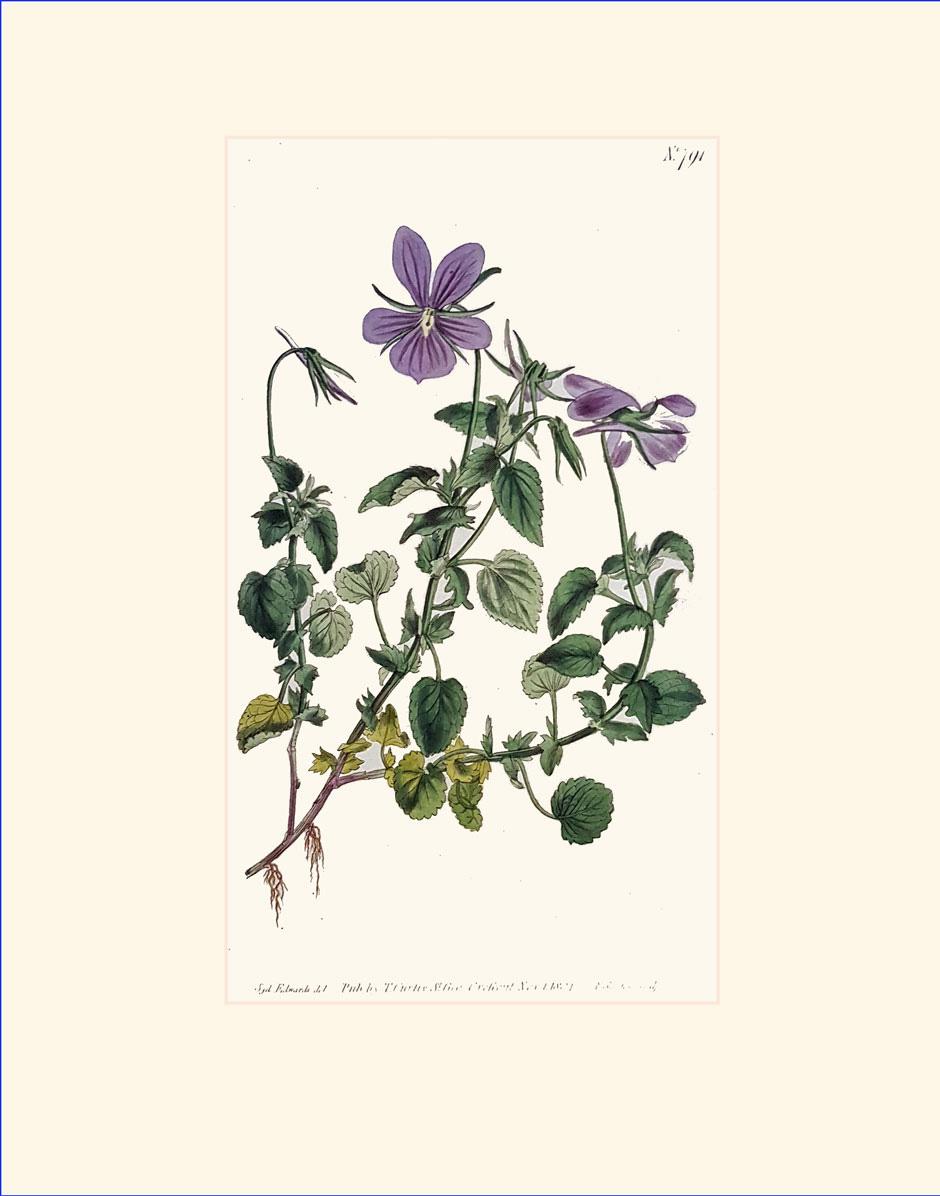 Horned-violet