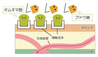 ブドウ糖が入る糖輸送体に先にギムネマが入ることによって、糖は破壊され血管の中に運ばれる量が減り、血糖値の上昇が穏やかになる