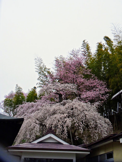 二本松市 鏡石寺のしだれ桜