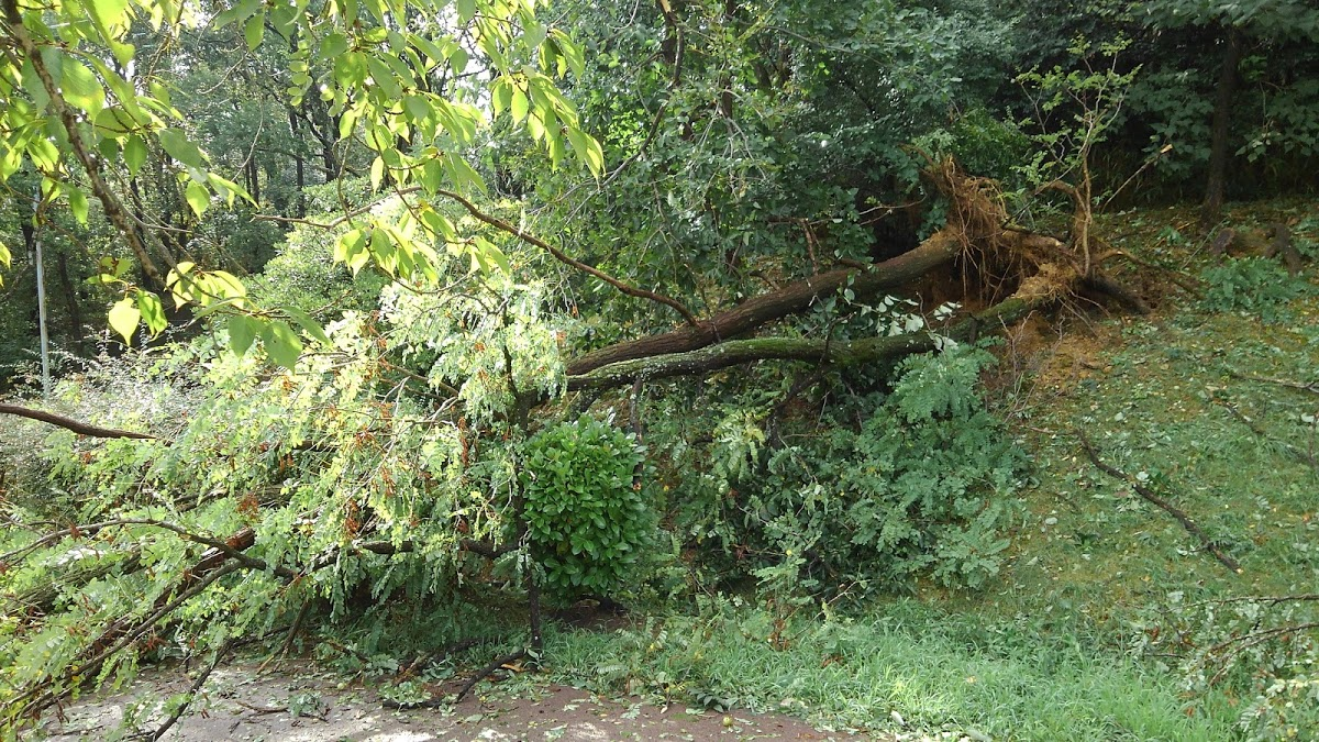 遊歩道に根っこから倒れる木