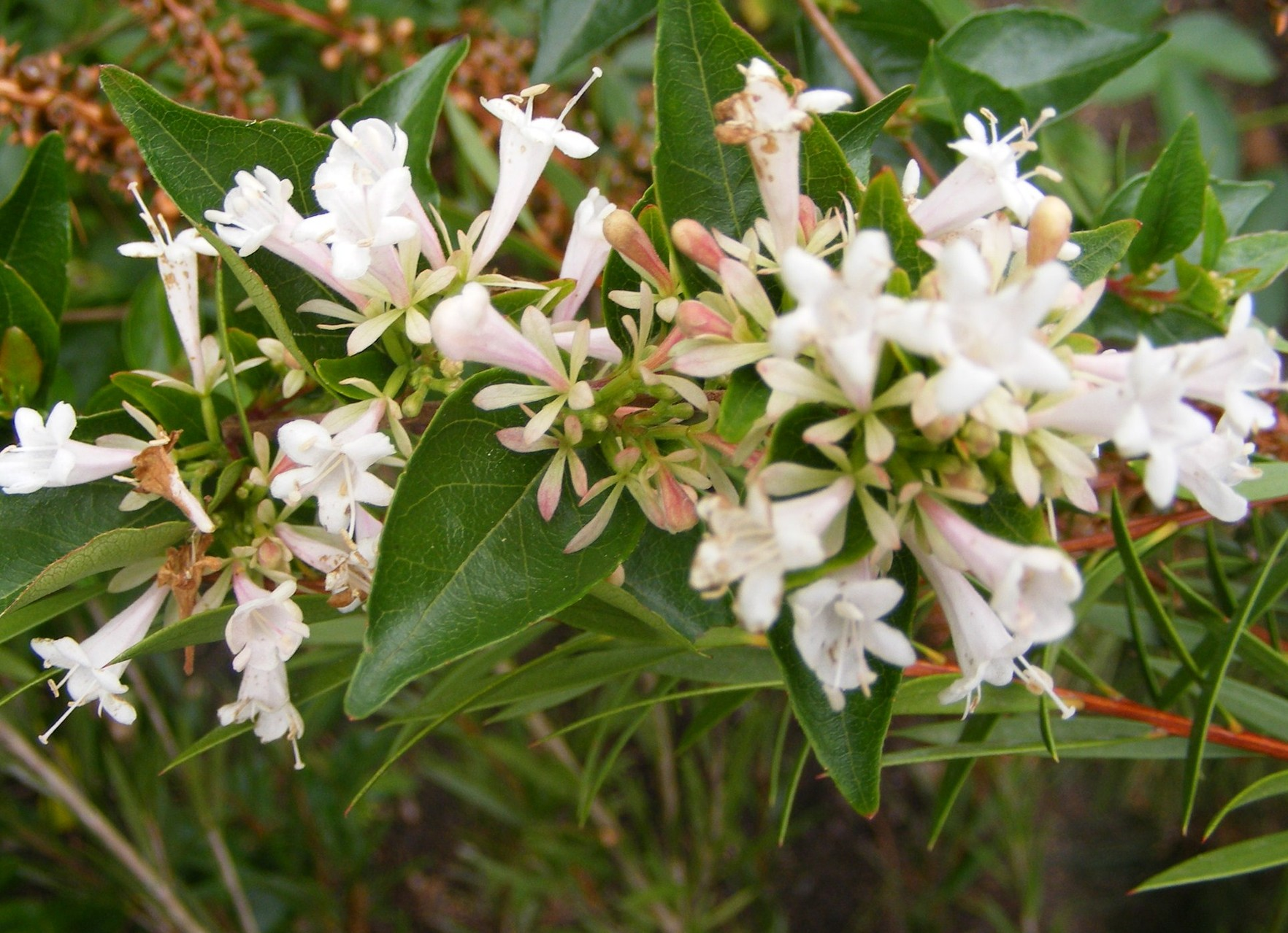 Abelia chinensis Selection