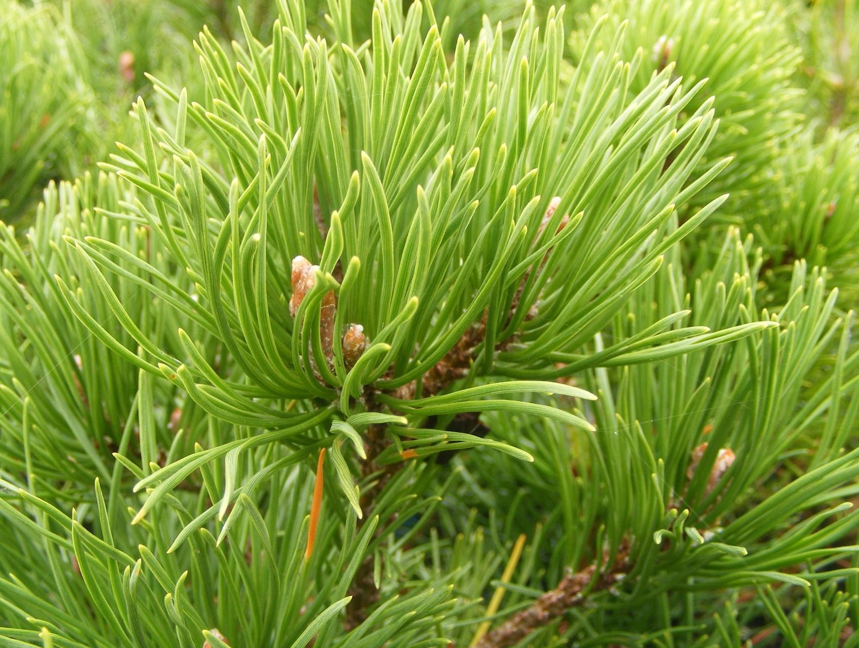 Pinus mugo Pumilio