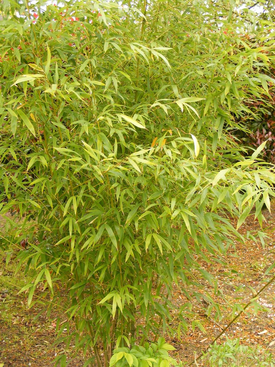 Bambou phyllostachys Aurea