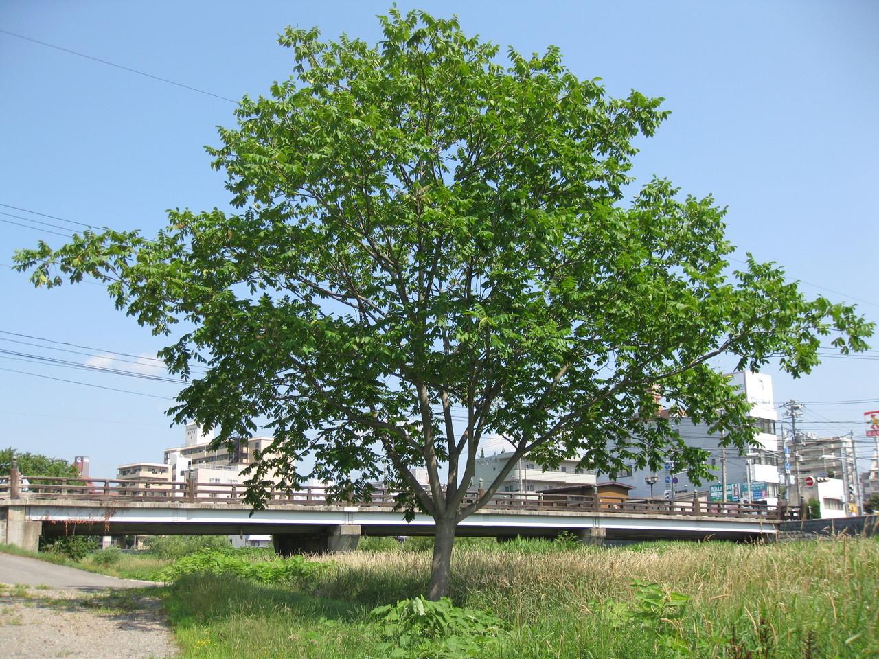 これが和グルミ(オニグルミ)の木です。