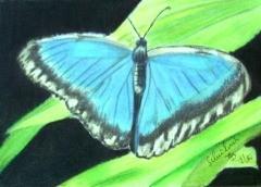 Blauer Morphonfalter