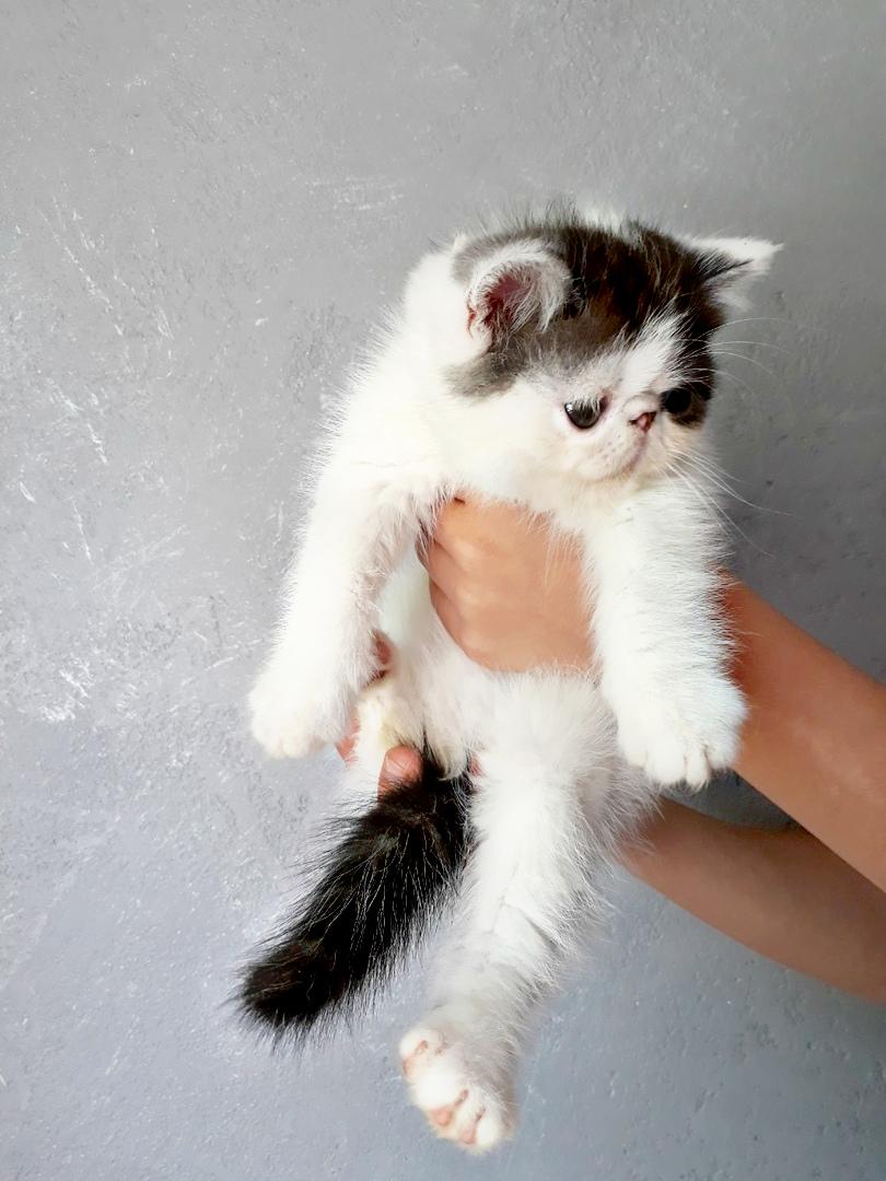Экзотитческий котик