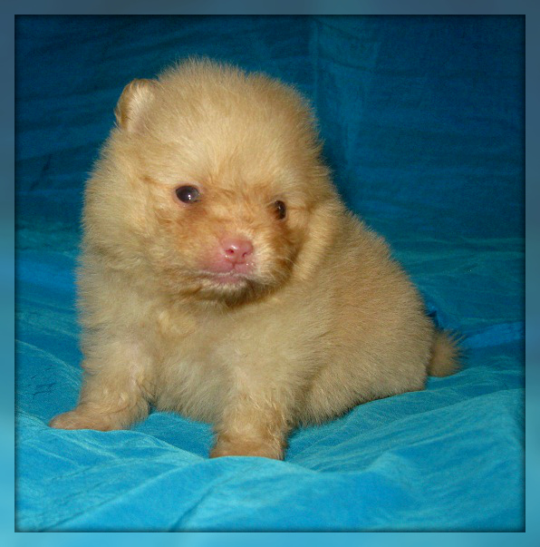 Мальчик окрас крем-Шоколадный ген на фото возраст 3 недели.