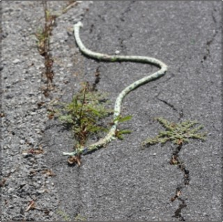 Rope-Snake on Border of Road