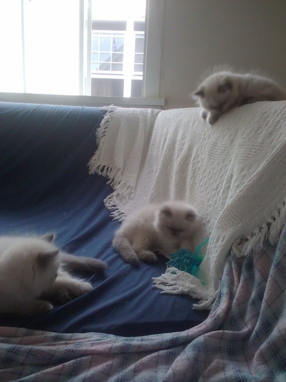 les 3 petits chatons