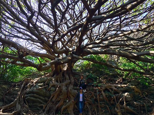 室戸岬にありますアコウの木