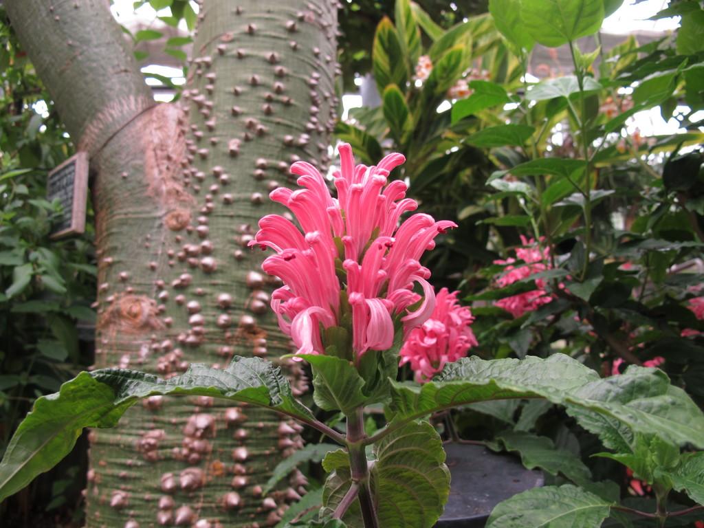 サンゴバナ 夏に向けてたくさん咲き始めました。