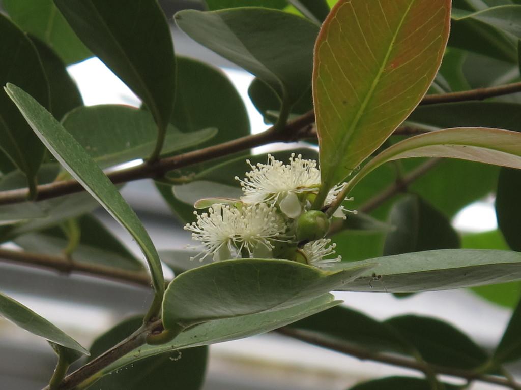 グァバの花。