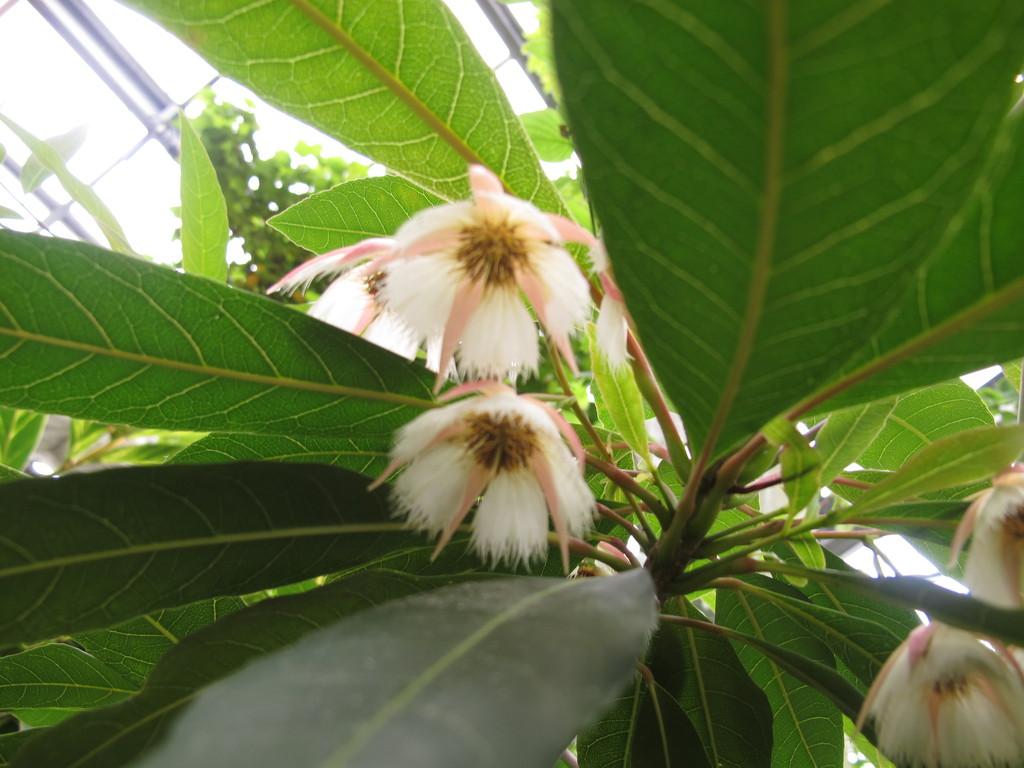 熱帯ホルトの木
