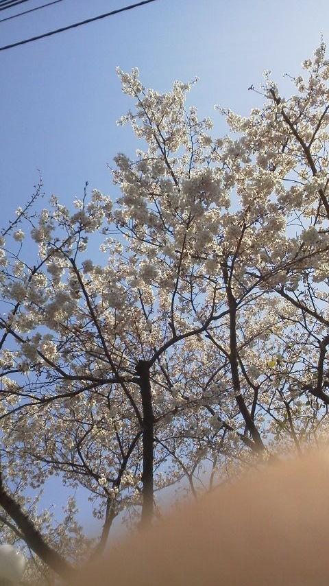 東京の桜。