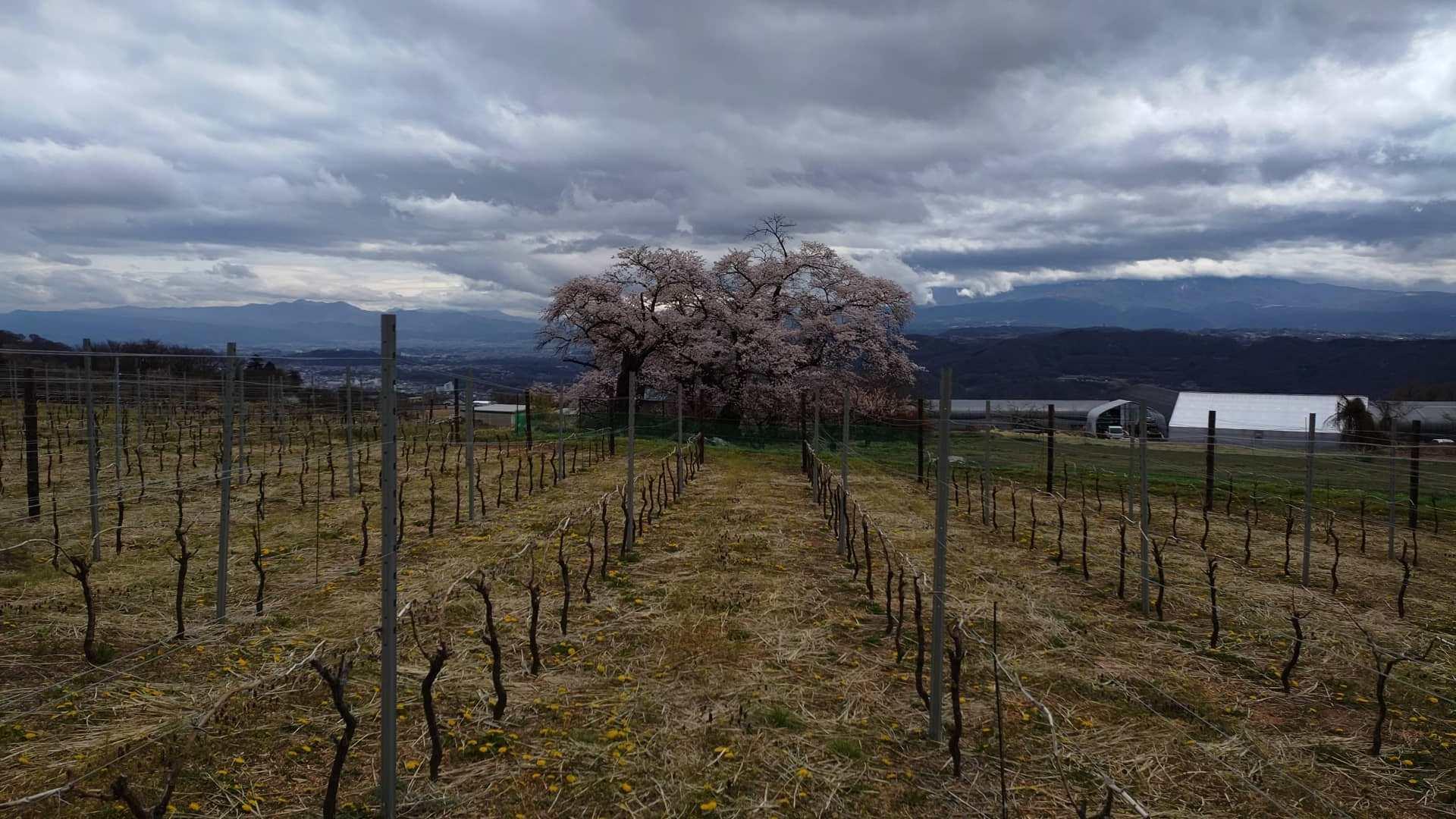 畑の隣の桜が満開