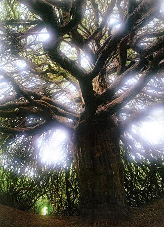 スコットランドの貴族の領地内に生えるイチイの巨樹