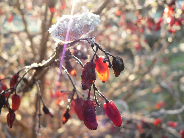 Berberitzen-Früchte bei Frost, Foto: U. Postler