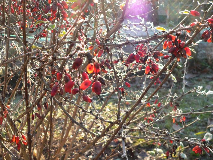 Berberitzen zum Winterbeginn, Foto: U. Postler