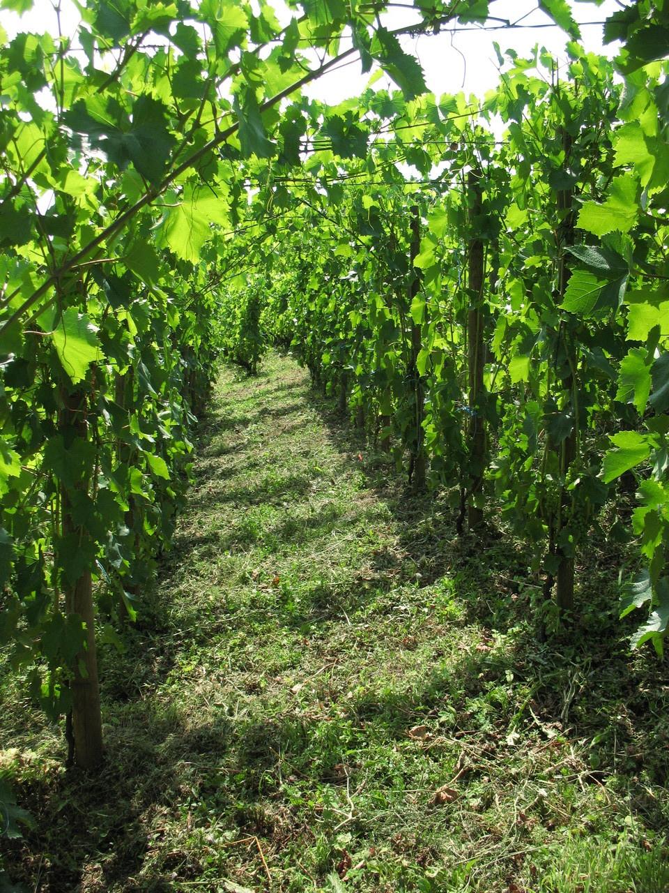 vigne d'altesse en début d'été