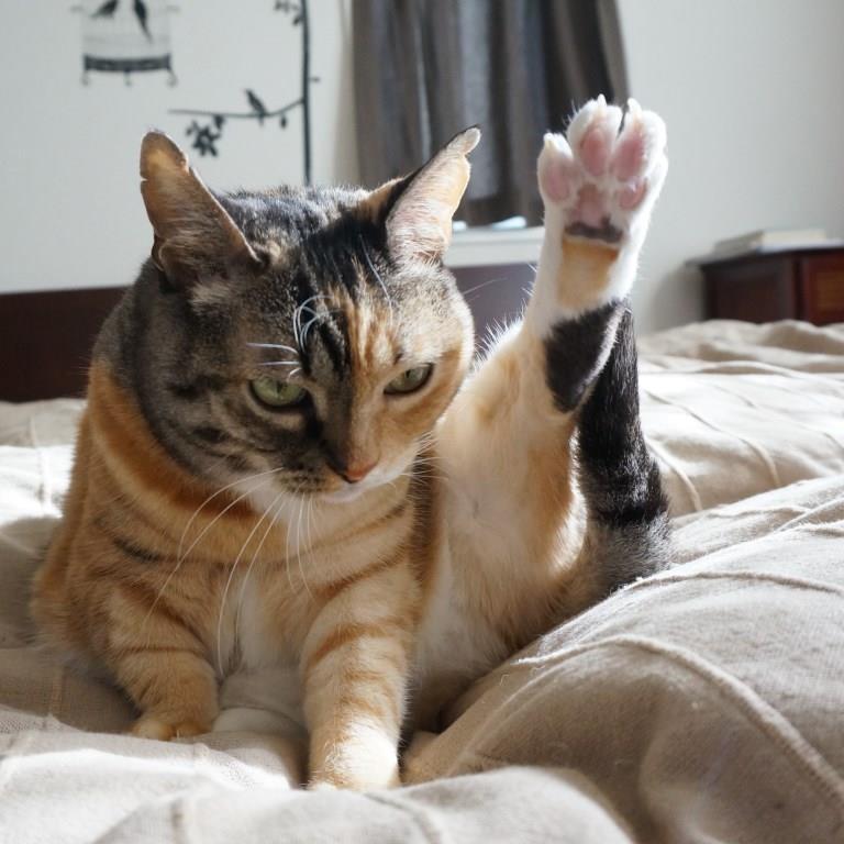猫のしじみ、三毛猫