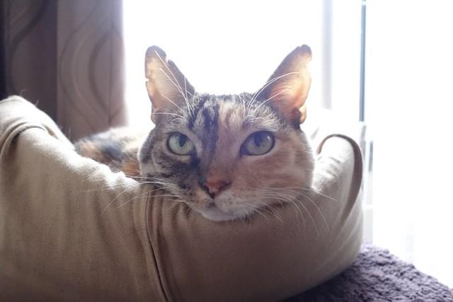 猫イラスト・猫・三毛猫