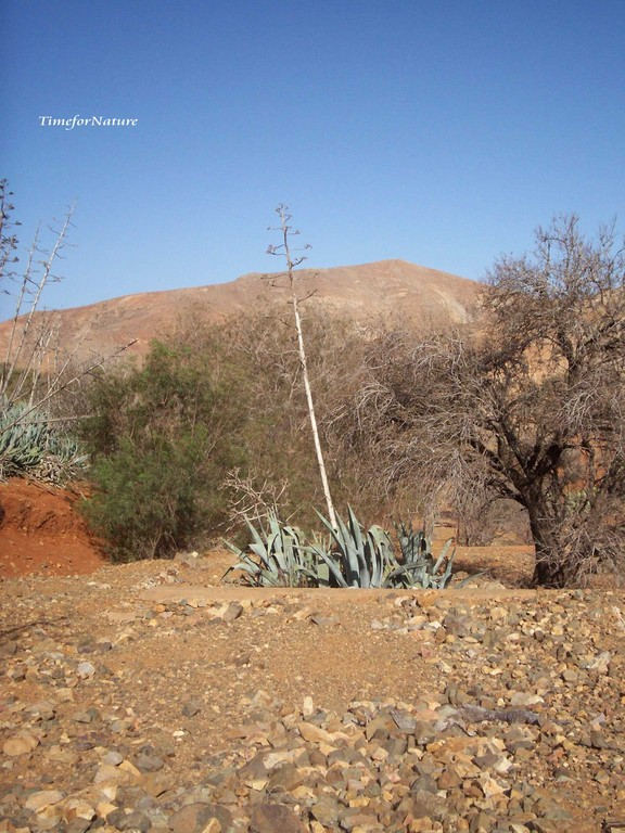 Agave am Rand des Pilgerweges