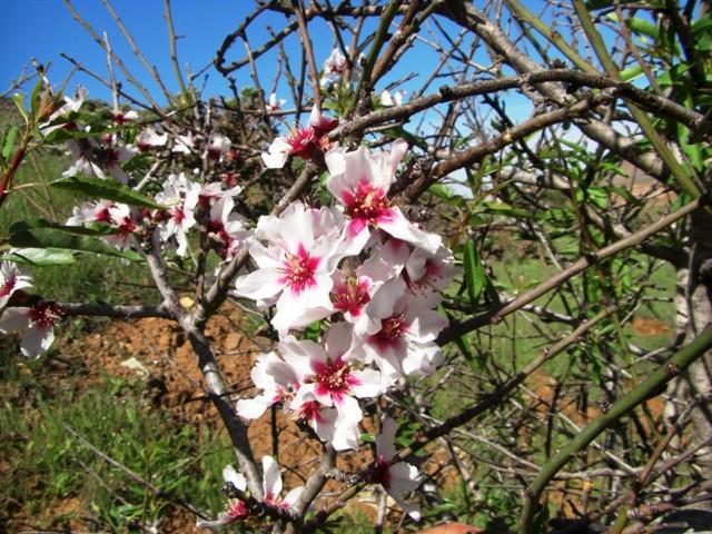 Mandelblüte auf Fuerteventura
