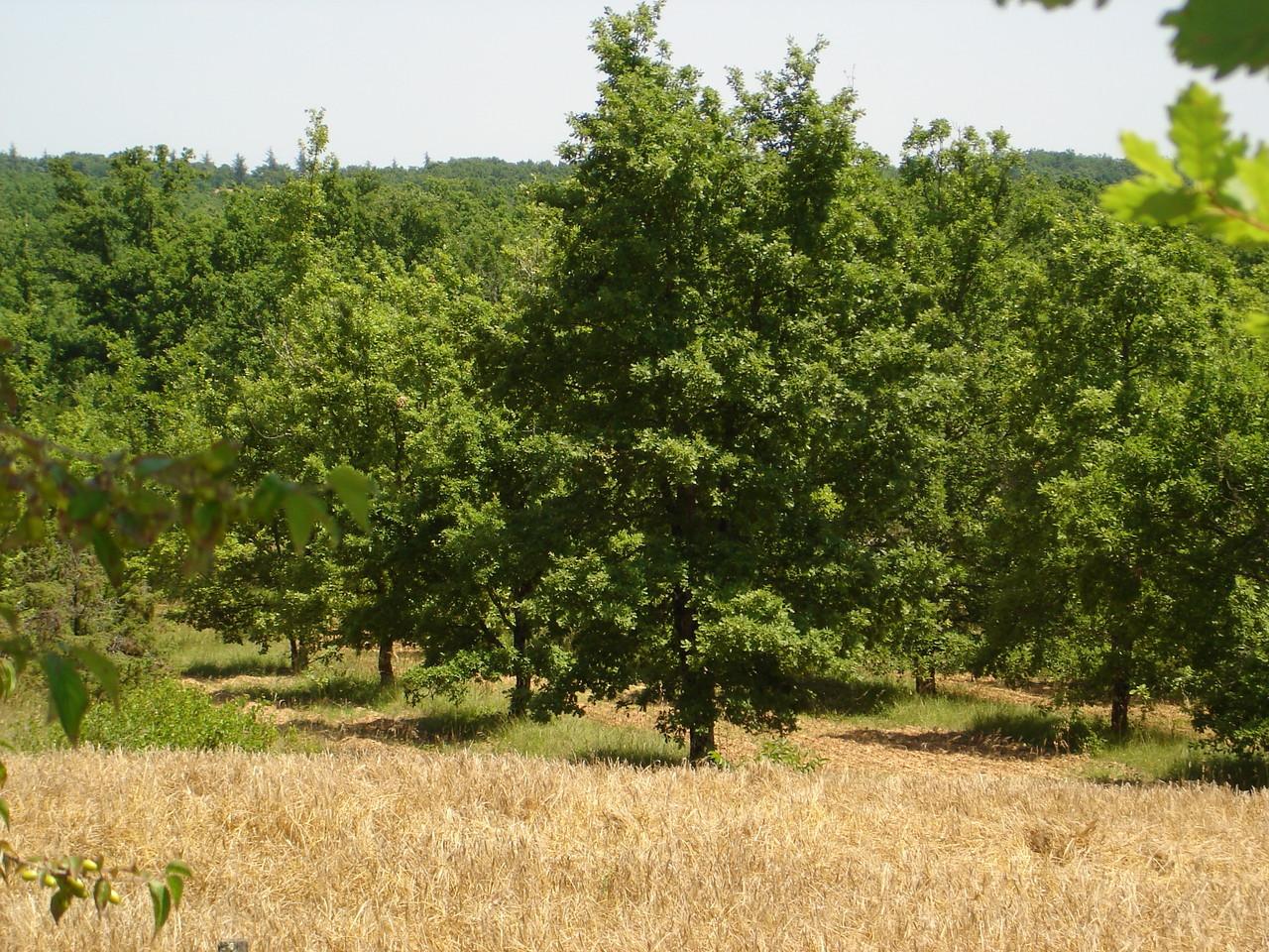 culture de chênes truffiers proches du gîte