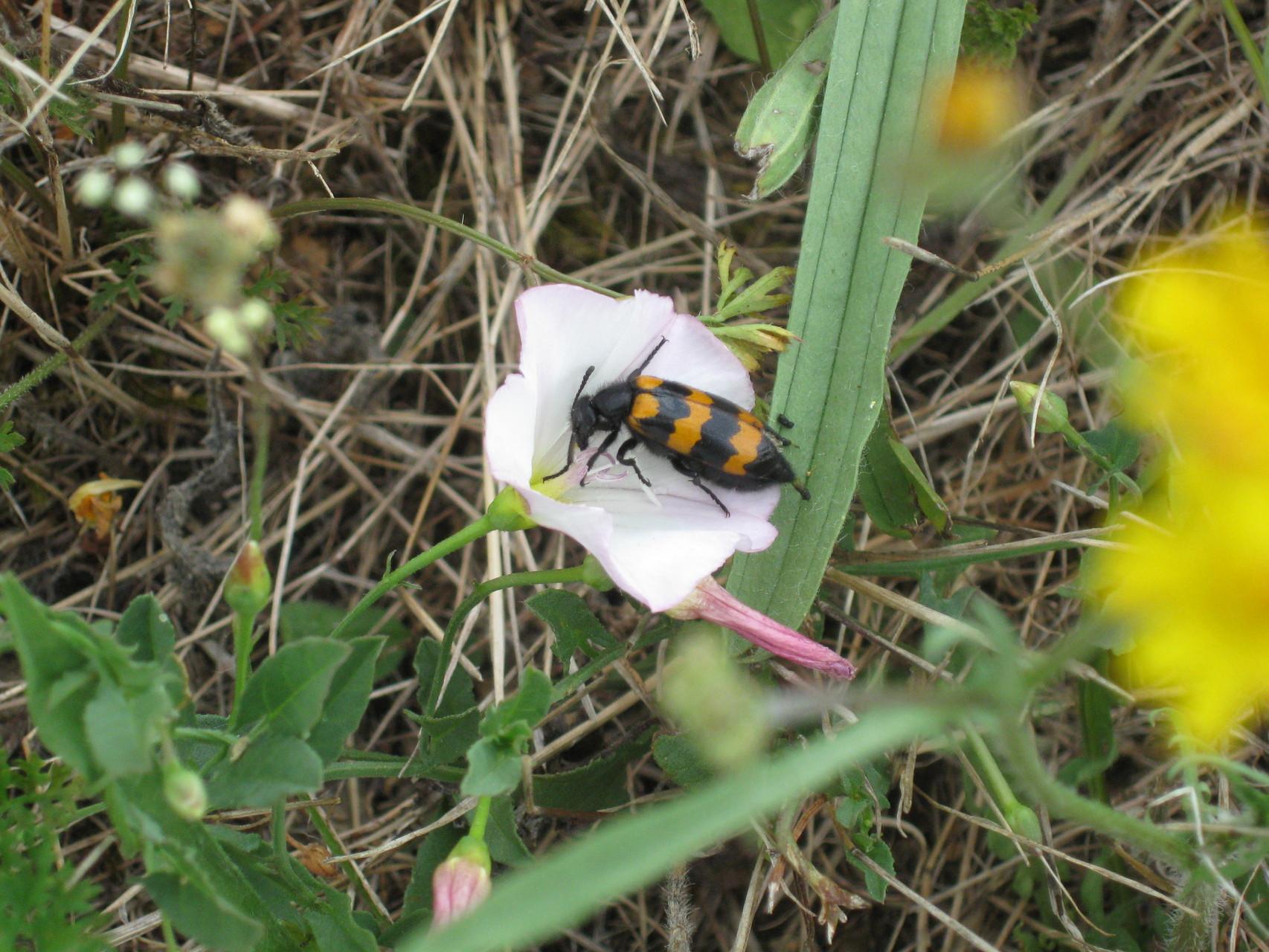 Coléoptère jaune et noir (Mylabris variabilis)