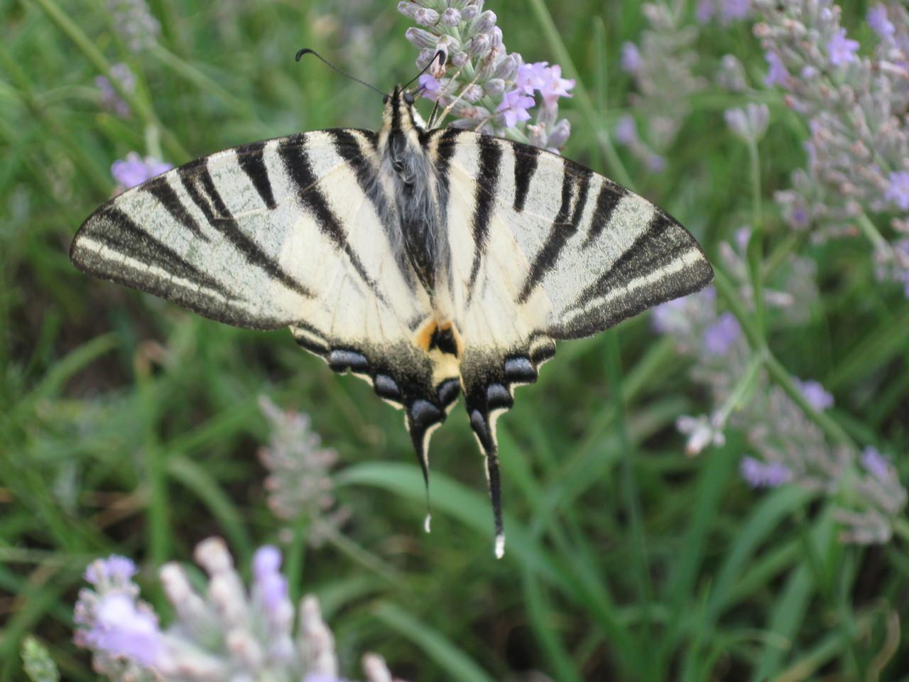 papillon- Flambé (Iphiclides podalirius)