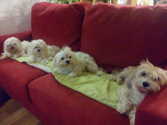Les Bichons et leur canapé