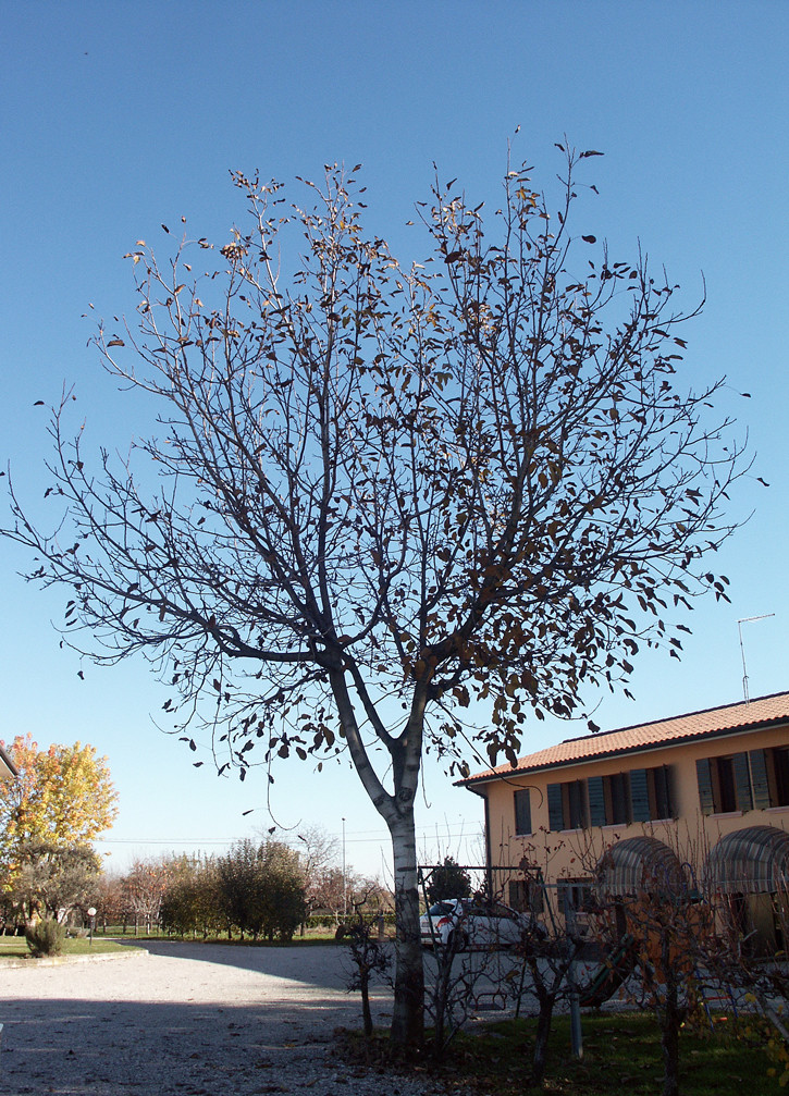The bare walnut tree