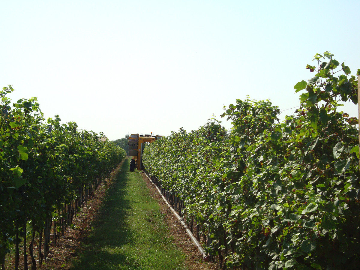 Wineyard in the plain