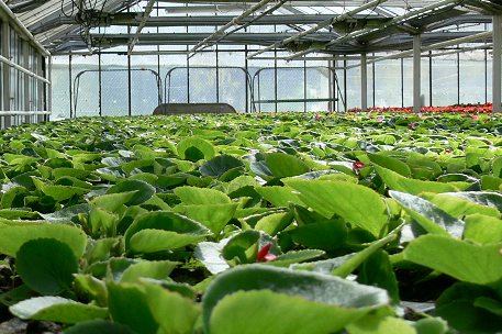 Eisbegonien ( Begonia semperflorens)