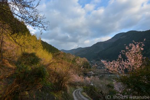 黄色はサンシュユ。びっくり桜もけっこう咲いていました。