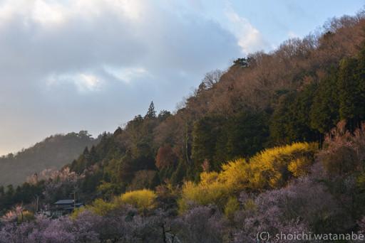 西陽があたり、サンシュユがキラキラ輝きます。この時は桜が引き立て役に。