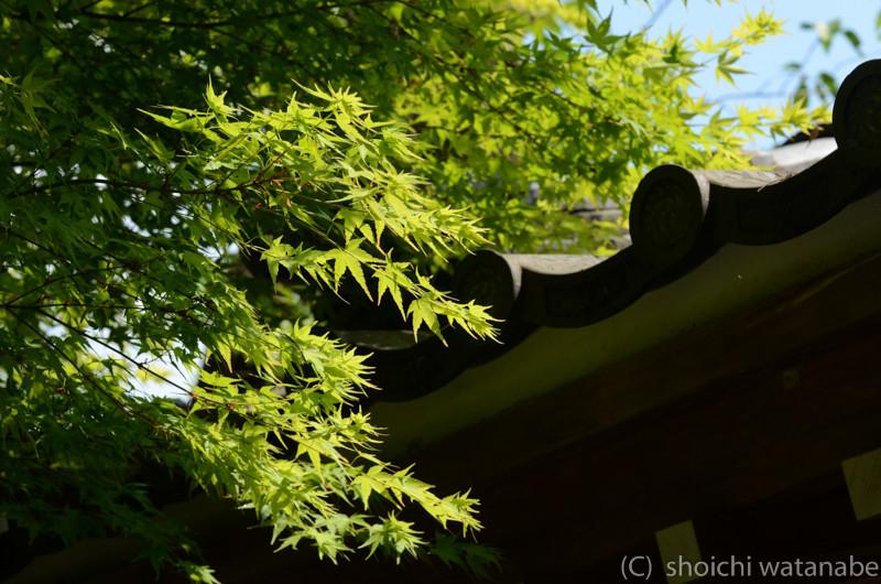 夏の定番写真 緑もみじはやっぱりきれい