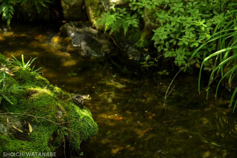 でっかいカエルがいました。  Nikon D810 + AF-S NIKKOR 24-120mm f/4G ED VR
