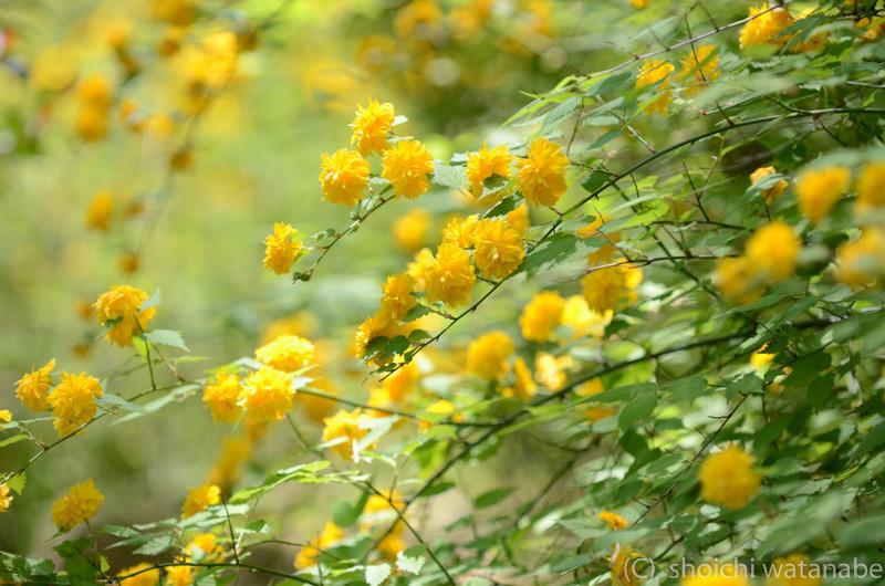 元気な黄色で心に活力を与えてくれる山吹。満開でした。