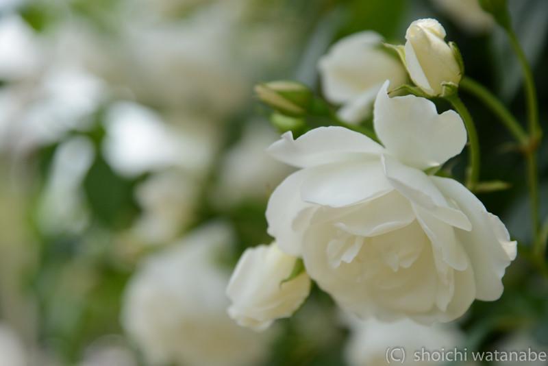 靱公園はバラ祭りで盛り上がっていました。天気が快晴だったので、日陰のバラを探して撮ります。