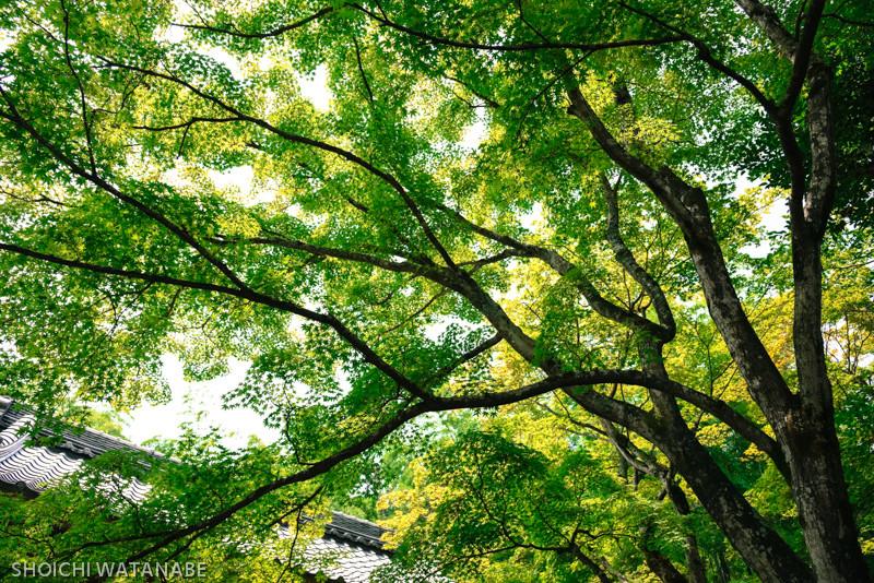 これも秋になったら真っ赤になります。広角がとても効きます。  Nikon D810 + AF-S NIKKOR 24-120mm f/4G ED VR